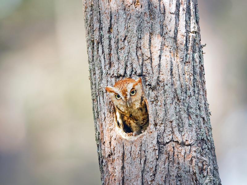 Eastern Screech Owl Red Morph in Tree Cavity.jpg