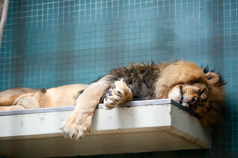 Sleeping lion, Berlin zoo, Germany