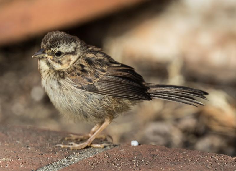 Song Sparrow Leucadia 2020 05 02-3.CR2