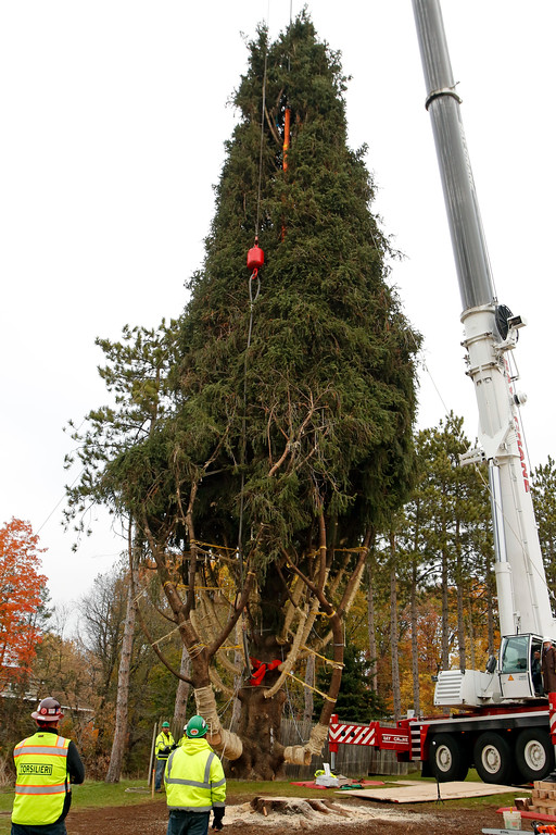 . This year\'s Rockefeller Center Christmas tree, a 75-foot tall, 50-foot in diameter, Norway Spruce, weighing more than 12 tons, is moved to a flatbed truck after being cut from the yard of Jason Perrin in State College, Pa., Thursday, Nov. 9, 2017. The tree will be driven to Rockefeller Plaza in New York City, and put in place on Saturday, Nov. 11, from 8 a.m to 11a.m. in front of 30 Rockefeller Plaza. (AP Photo/Gene J. Puskar)