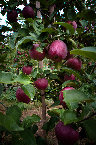 farm apples.jpg