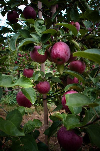 farm apples.jpg