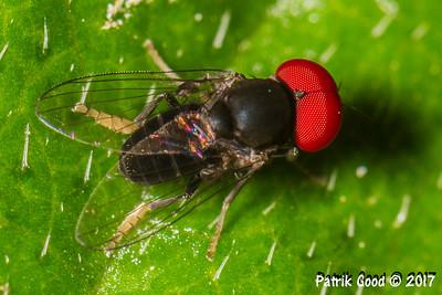 Scaled Hindleg Bigeye Fly
