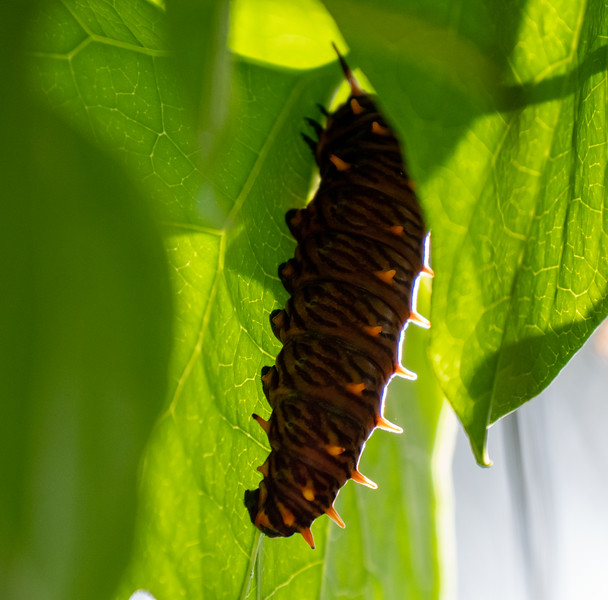 polydamas caterpillar on dutchman's pipevine