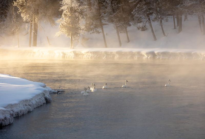 387A9710 Swans in morning fog.jpg