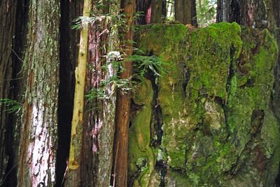 California Redwoods