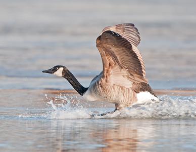 Sandhill Crane & Canadian Goose