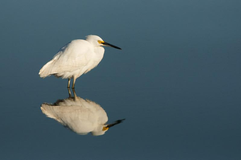 Snowy Egret Reflection.jpg