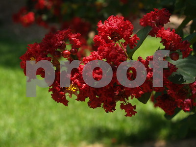 crapemyrtles-will-give-you-longlasting-super-color-in-summer