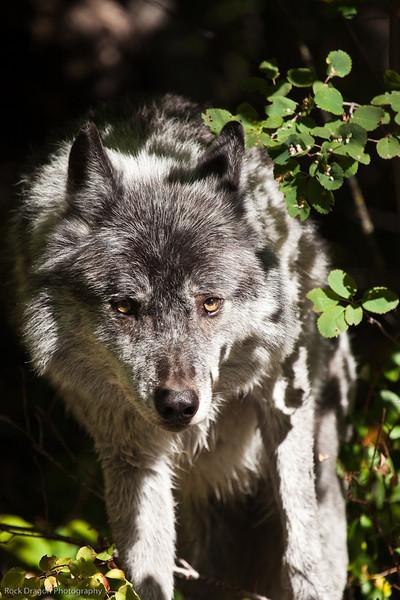 Northern Lights Wolf Center, Golden British Columbia