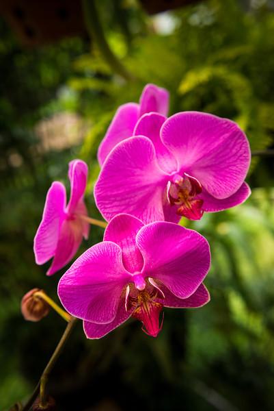 Purple Moth Orchid