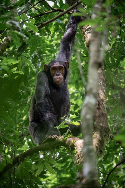 Uganda_T_Chimps-1592.jpg