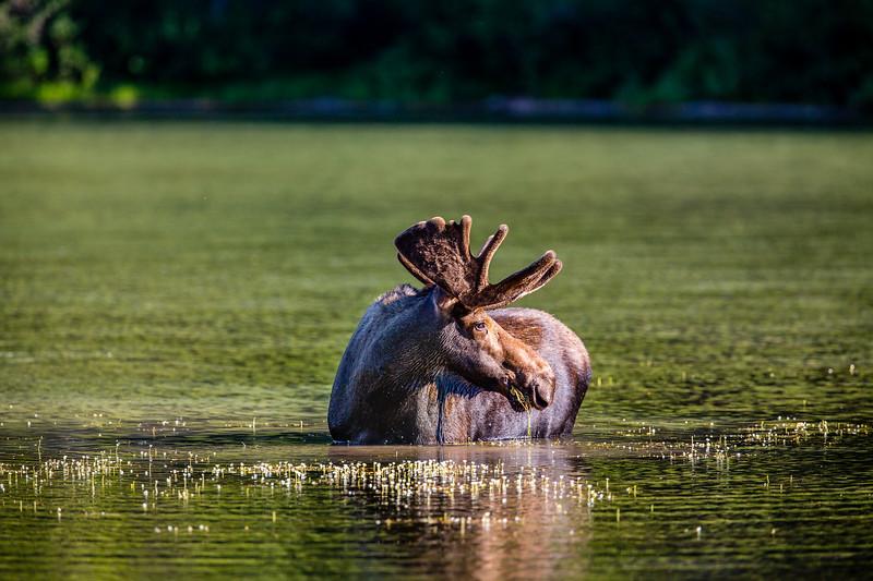 Bull Moose, Fishercap Lake, Glacier National Park, MT