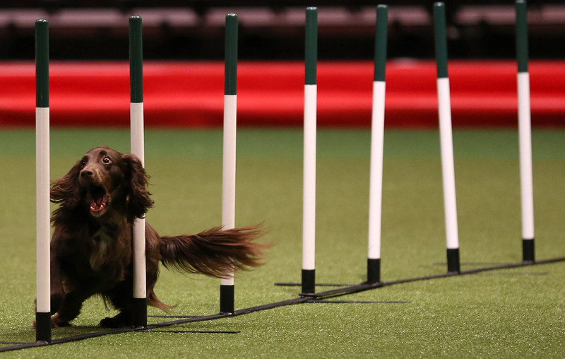 . A dog competes in the agility competition on the second day of the Crufts dog show at the NEC on March 7, 2014 in Birmingham, England. Said to be the largest show of its kind in the world, the annual four-day event, features thousands of dogs, with competitors traveling from countries across the globe to take part. Crufts, which was first held in 1891 and sees thousands of dogs vie for the coveted title of \'Best in Show\'.  (Photo by Matt Cardy/Getty Images)