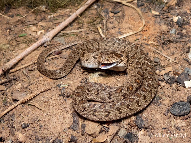 20201210 Rhombic Egg-Eater (Dasypeltis scabra) from Worcester, Western Cape