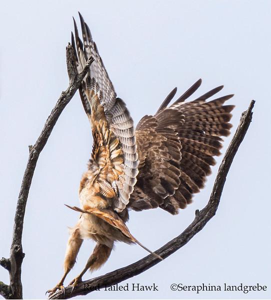 _DSC3159Red Tail Hawk.jpg