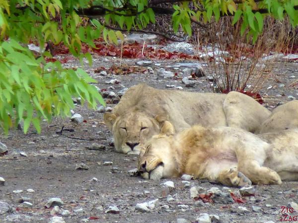 Sleeping lions, Etosha Namibia