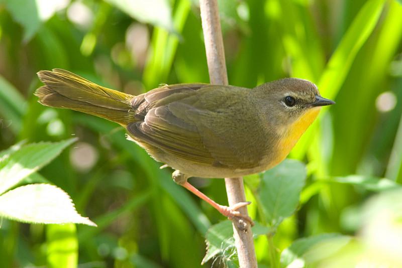 Common Yellowthroat (f)   Huntley Meadows in Alexandria, VA