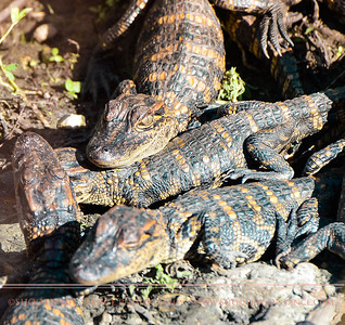 A cluster of baby alligators on the bank of a bayou, Anahuac Refuge