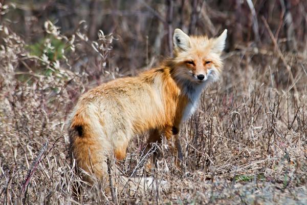 Red Fox - Gunflint Trail, MN