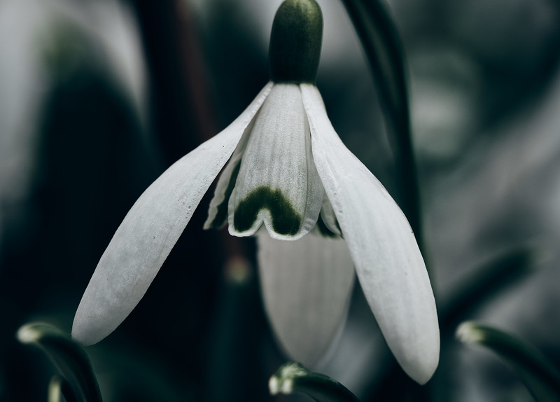 Snowdrop_c1v1.jpg