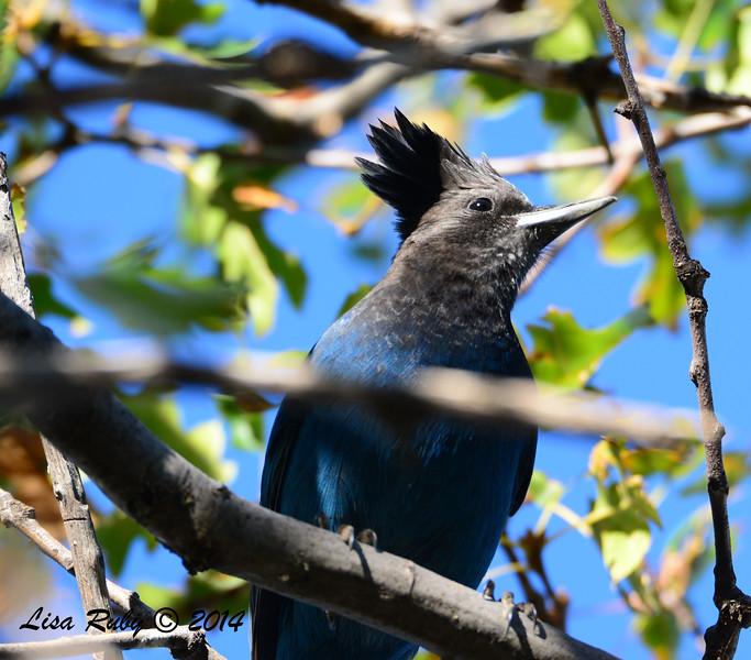 Steller's Jay - 10/12/2014 - Lake Cuyamaca