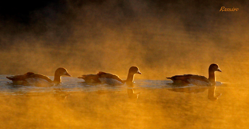 Egyptian Geese at Sunrise IMG_3505.jpg