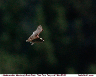 LittleBrownBat26177.jpg