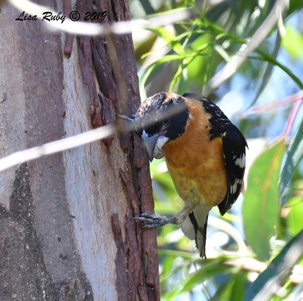 Black-headed Grosbeak - 6/28/2019 - Poway Pond