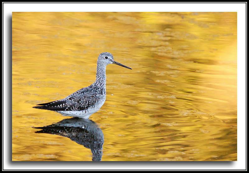 Greater Yellowlegs at Elgin Historical Park - surrounded by cottonwood seeds.