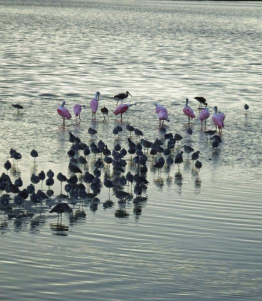 Assortment of shorebirds and waders at dusk at Ding Darling.