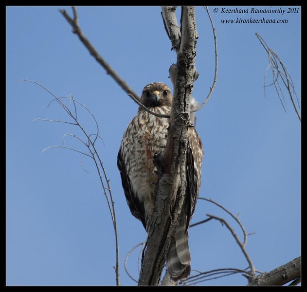 Red-shouldered Hawk juvenile, Lindo Lake, San Diego County, California, November 2011