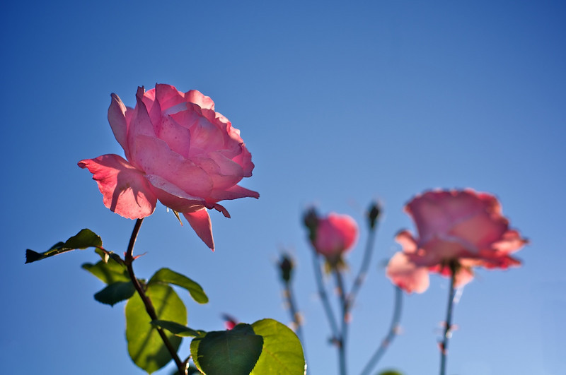 Roses_2010-11-17_643_DJB_rights_reserved - Version 3