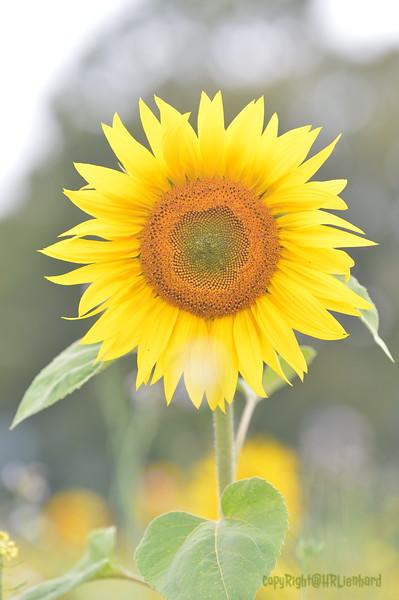 Sunflower Lonay_20092020 (84).JPG
