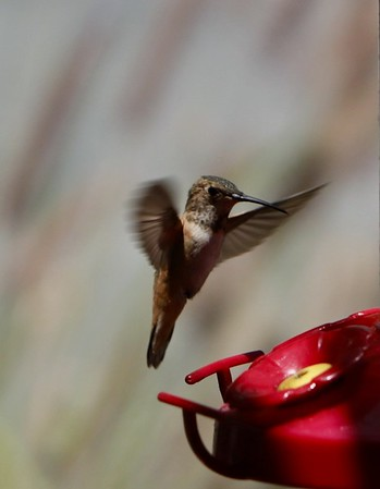Hummingbird Photos June 27, 2020