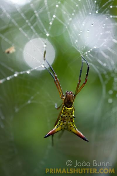 Spined orb weaver on it's web