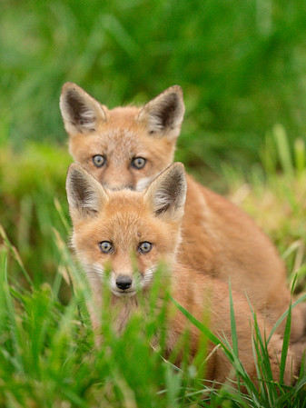 Red tailed Foxes