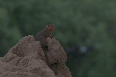 Mongoose, Common Dwarf