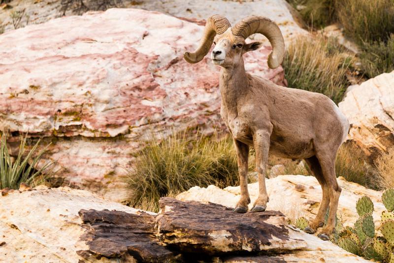 Big Horn(y) Sheep