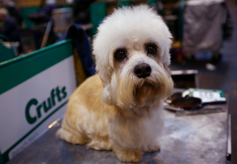 . A Dandie Dinmont Terrier awaits judging during the first day of the Crufts Dog Show in Birmingham, central England March 7, 2013. REUTERS/Darren Staples   (BRITAIN - Tags: ANIMALS SOCIETY)