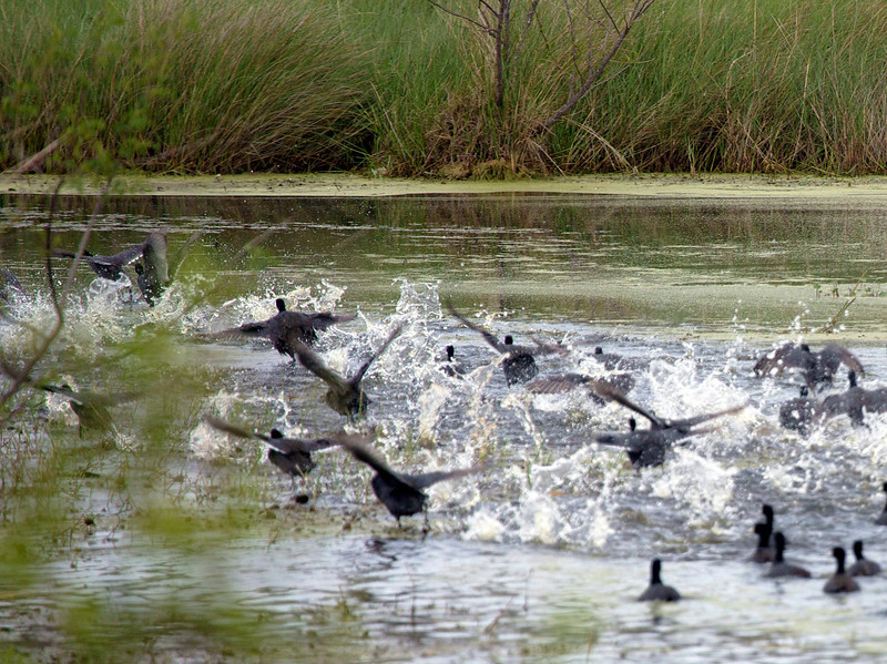 A flock of American Coots taking flight