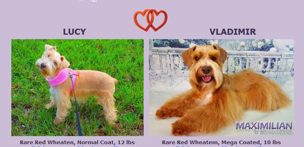 Lucy & Vladimir's Puppies, DOB 09/13/2017