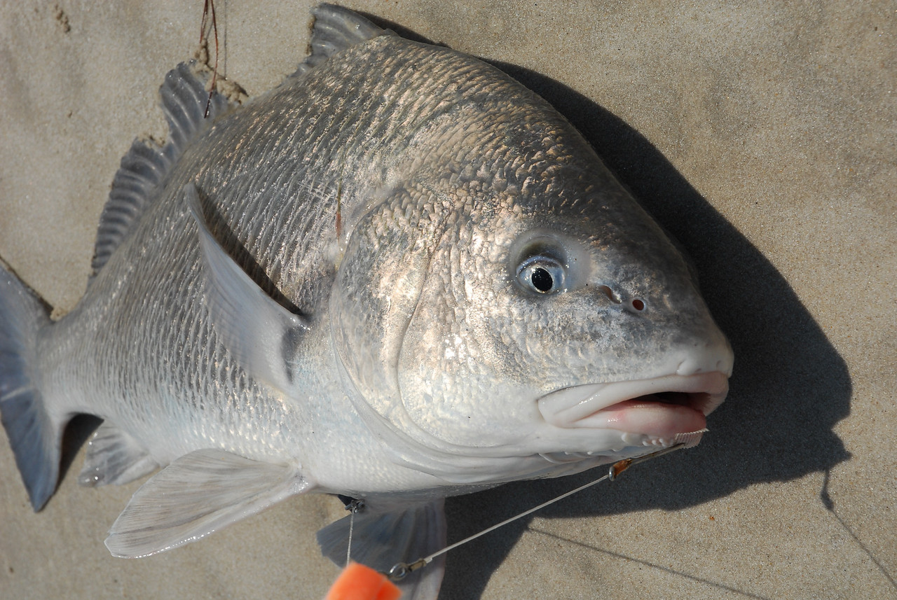Black Drum are beautiful when alive...fish released.