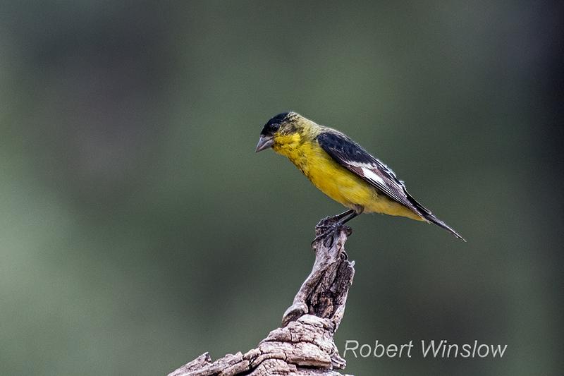 Male, Lesser Goldfinch, Spinus psaltria, La Plata County, Colorado, USA, North America