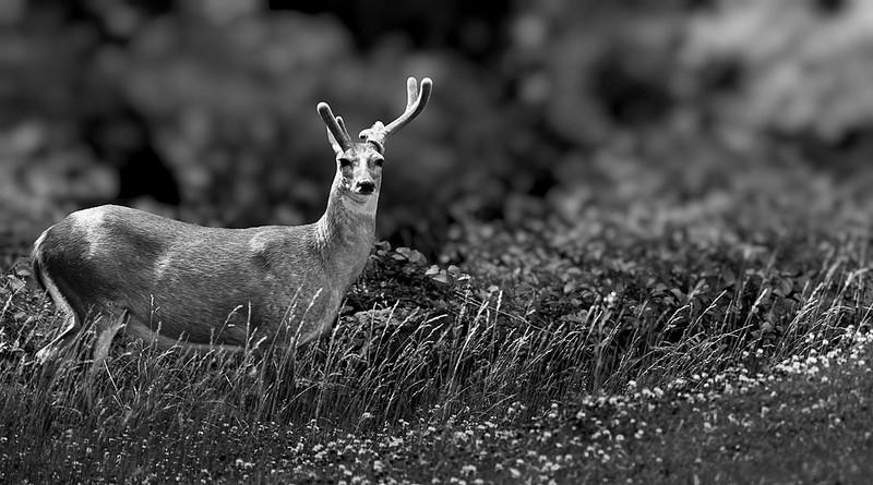 deer_BW.jpg