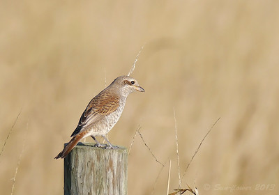 Red-backed Shrike (Canvey 2013, 2 of 2)