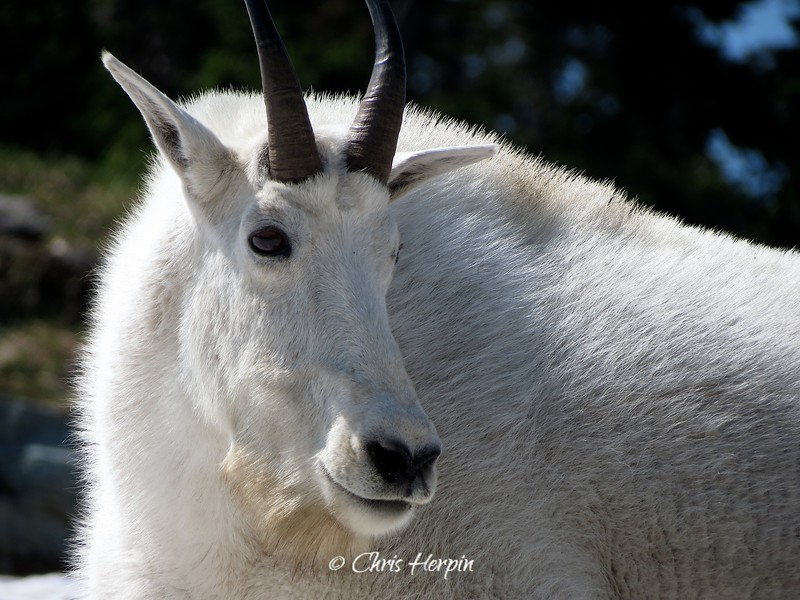 Montana Mountain Goat