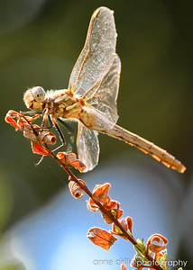 Dragonflies and other bugs