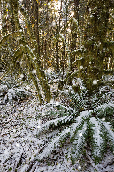 snow in the ferns.jpg