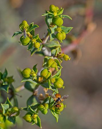 Euphorbia squamigera Loisel